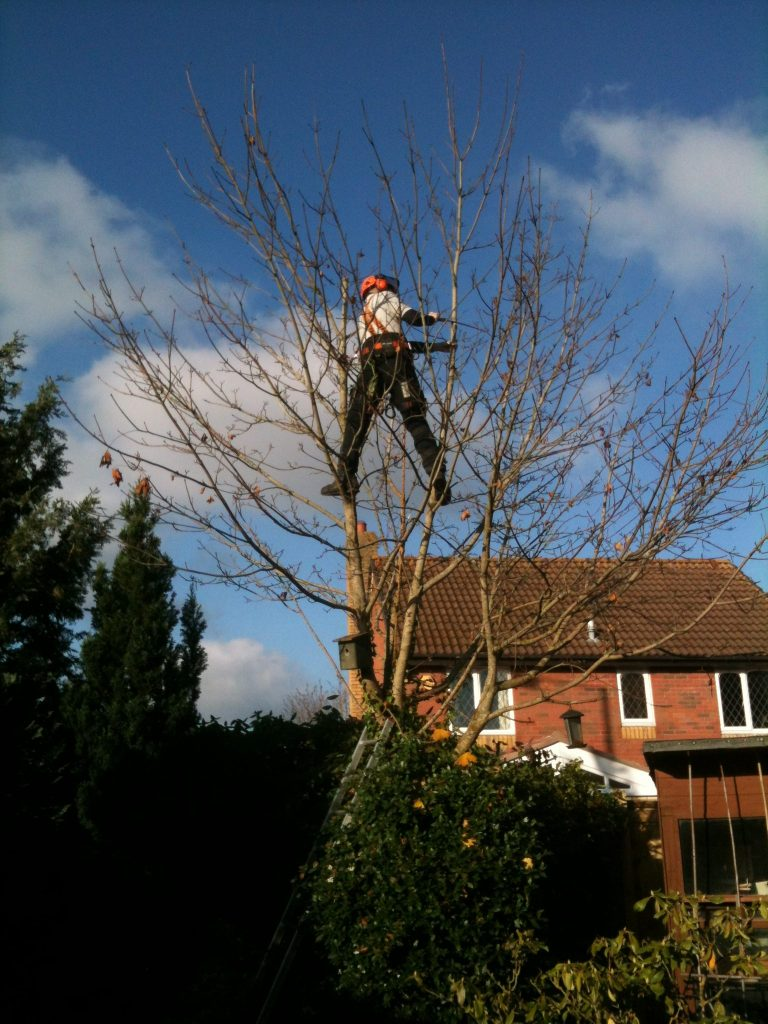 Tree surgeon attending to a tree