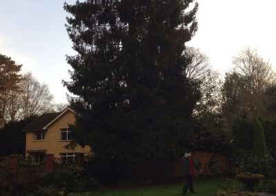 Conifer reduction Wiltshire