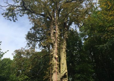 Over Mature Horse Chestnut Tree being taken down for Lydiard Park in Swindon