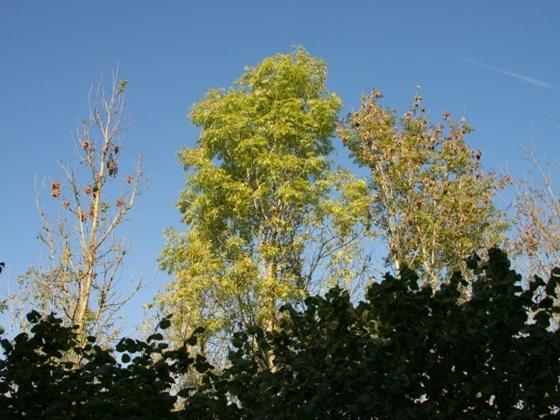 Ash Dieback Wiltshire